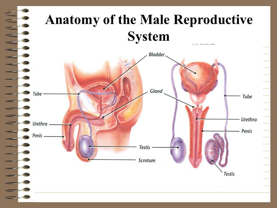 Gemütlich Rooster Anatomy Reproductive System Bilder - Anatomie Von ...