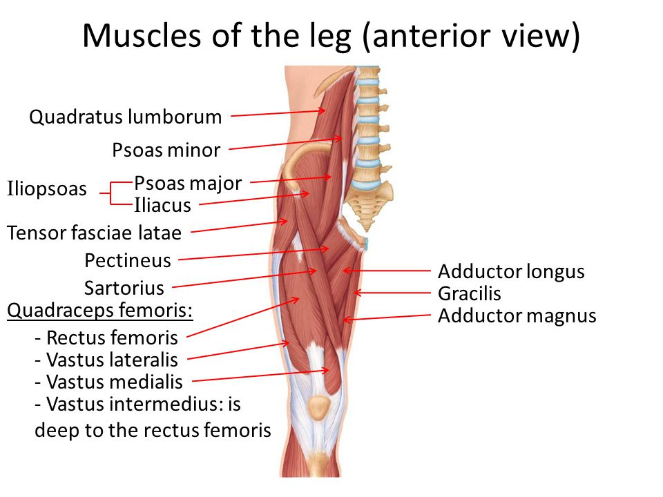Iliacus Muscle Of The Hip