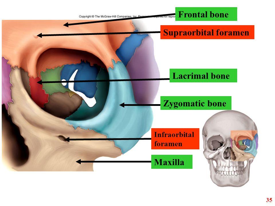 Notch Maxilla Lacrimal Bone