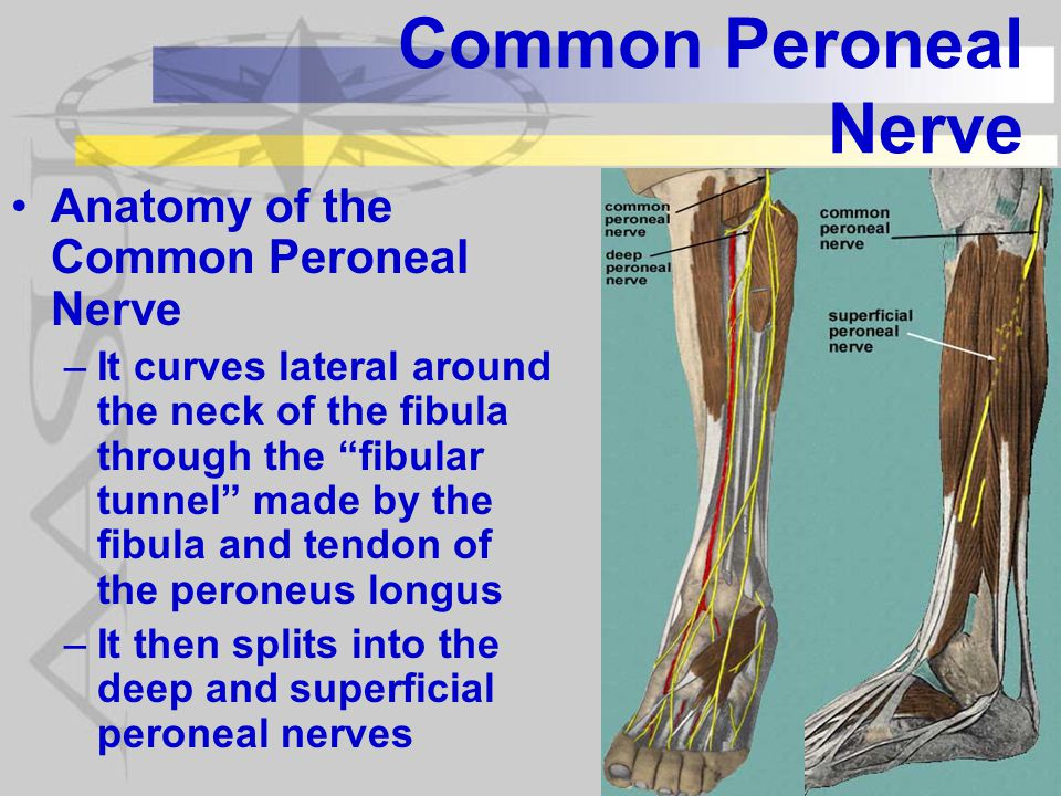 Superficial Peroneal Nerve Anatomy Gallery - human body anatomy