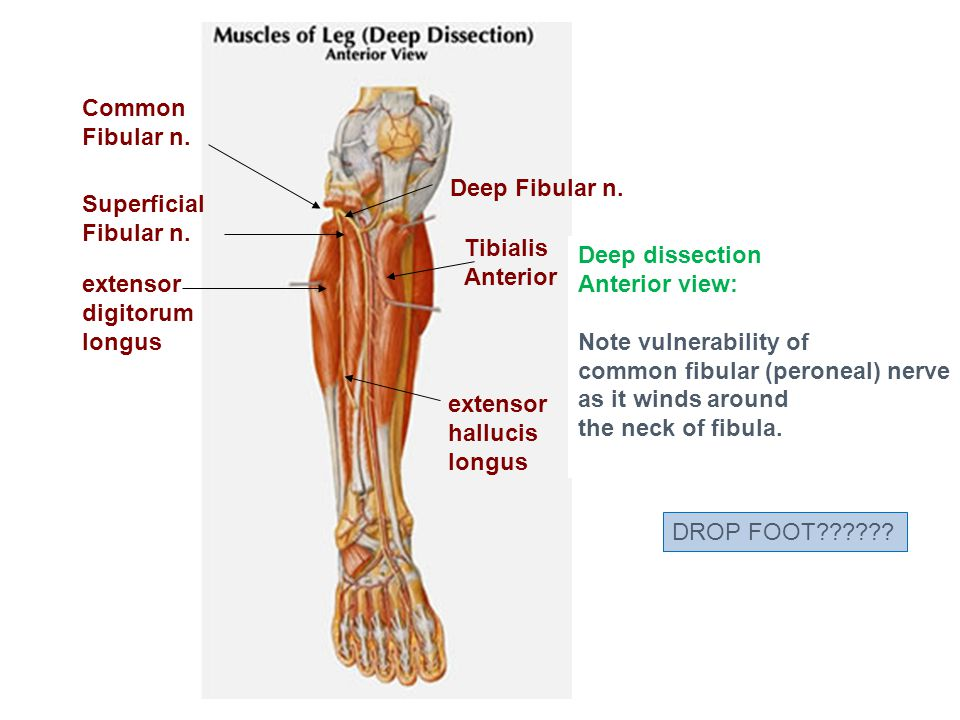 Anatomy of peroneal nerve 2344040 - follow4more.info