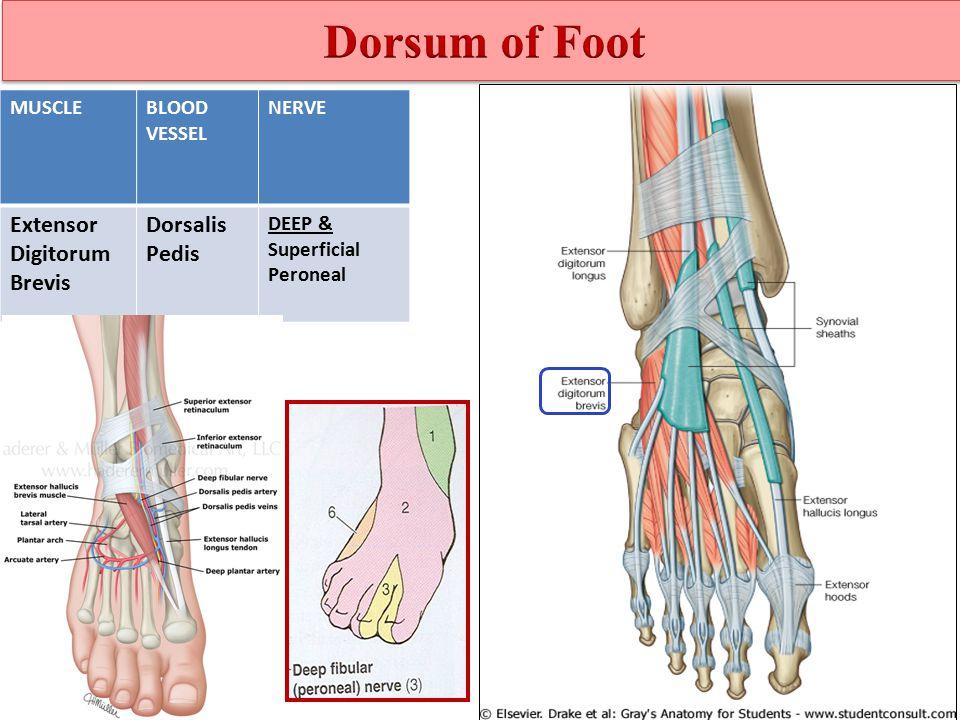Peroneal Longus Tendons Dorsal Foot