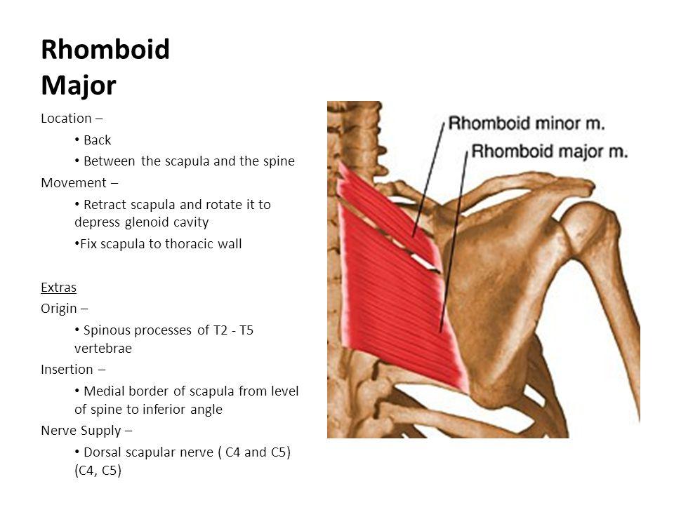 Iliac Crest Muscle Anatomy