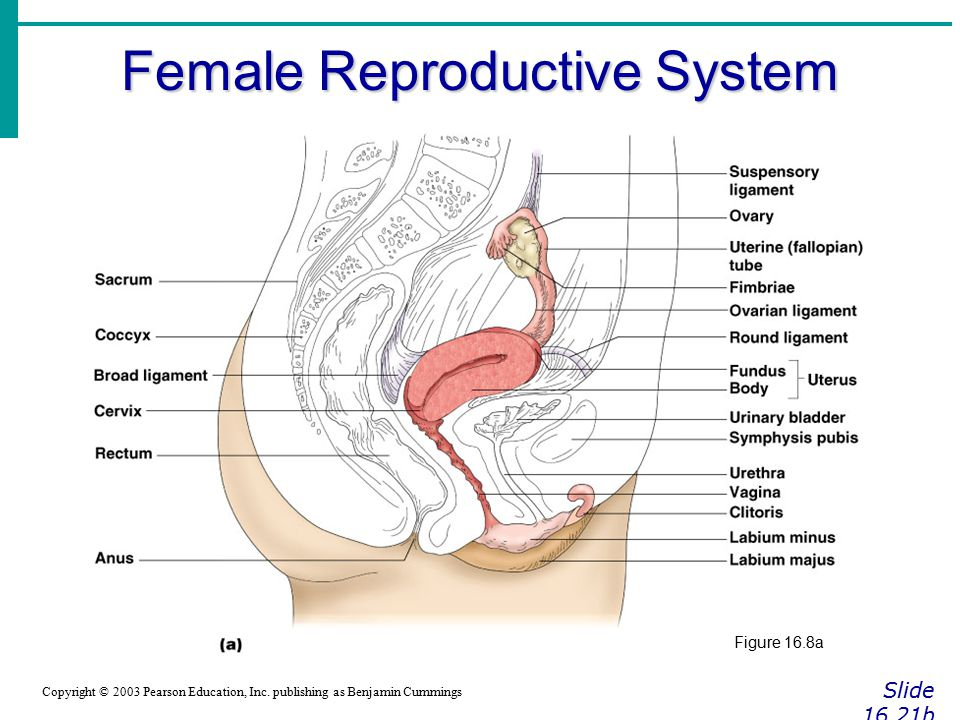 Male Testes Reproductive Structures And