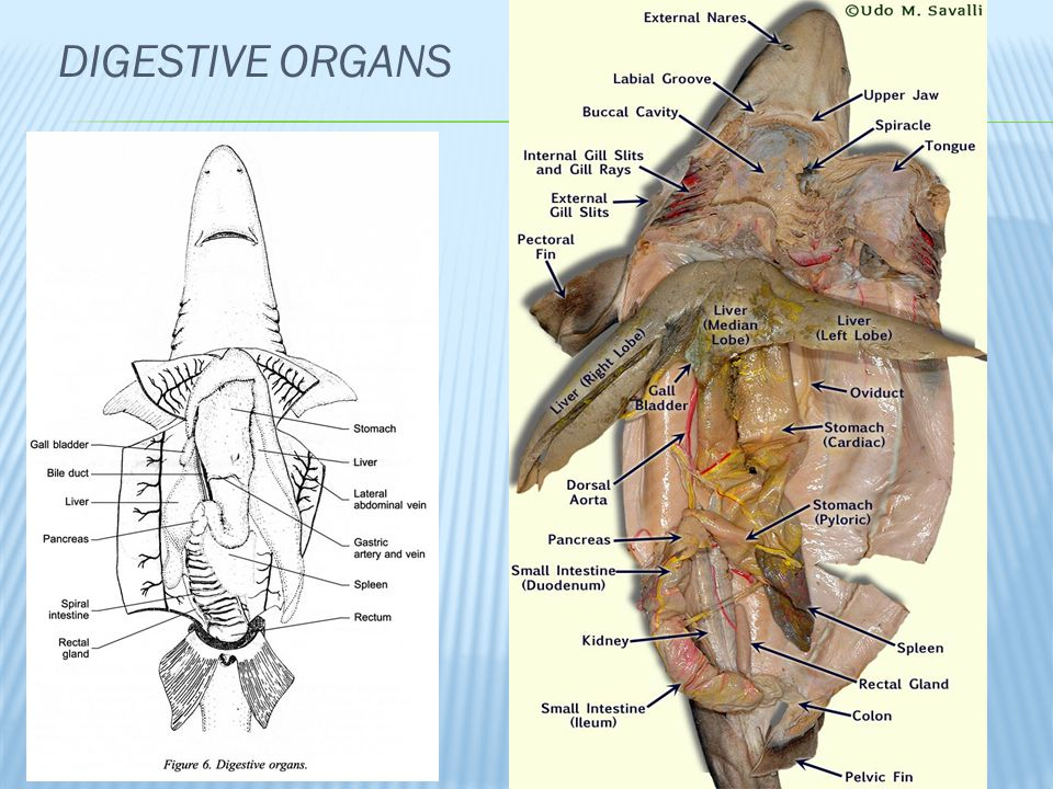 Dogfish Shark Internal Anatomy Diagram Digestive Auto Electrical