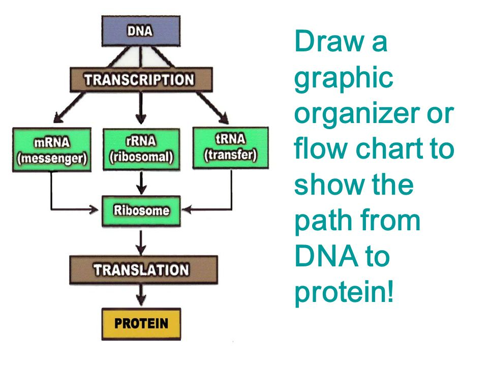 Protein Synthesis Transcription Animation