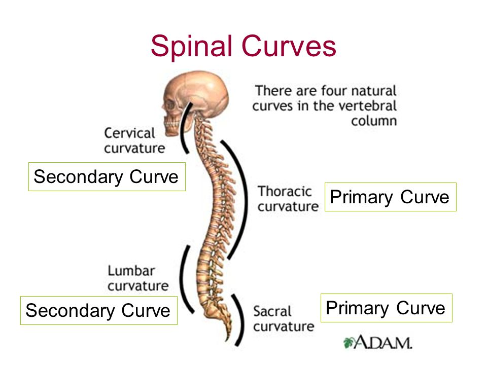 Image result for primary and secondary curvatures of the spine