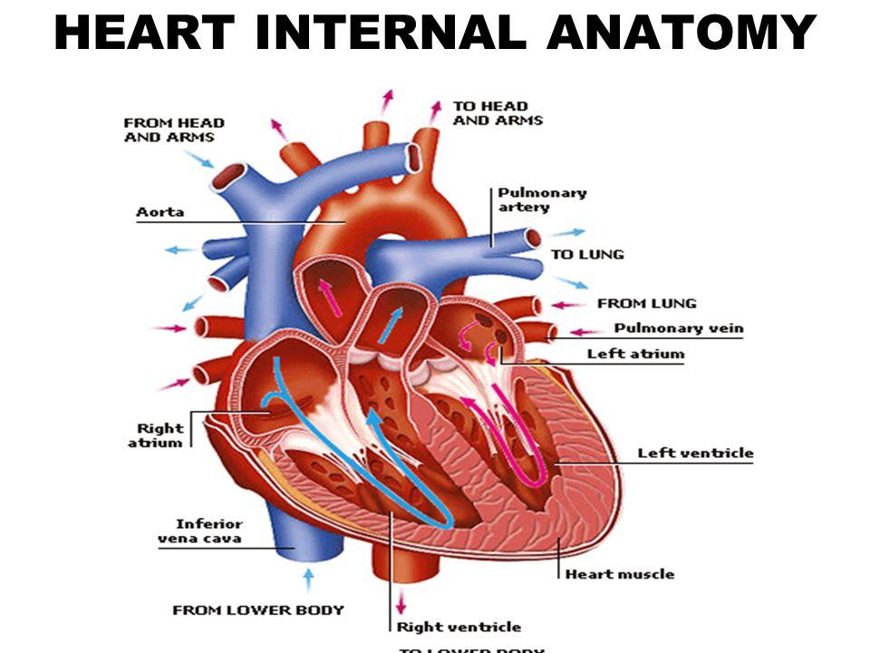 Enchanting Heart Internal Anatomy Ornament - Human Anatomy Images ...