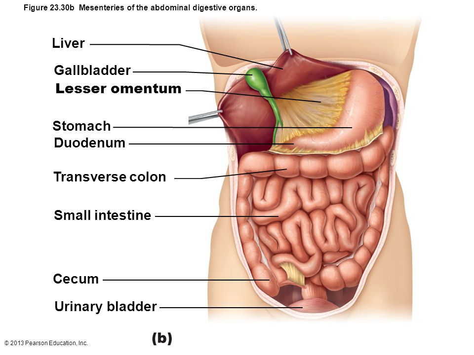 Location Small Intestine Esophagus And Stomach