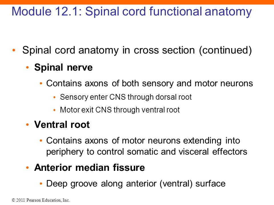 The Ventral Root Of A Spinal Nerve Contains Only Motor Fibers ...