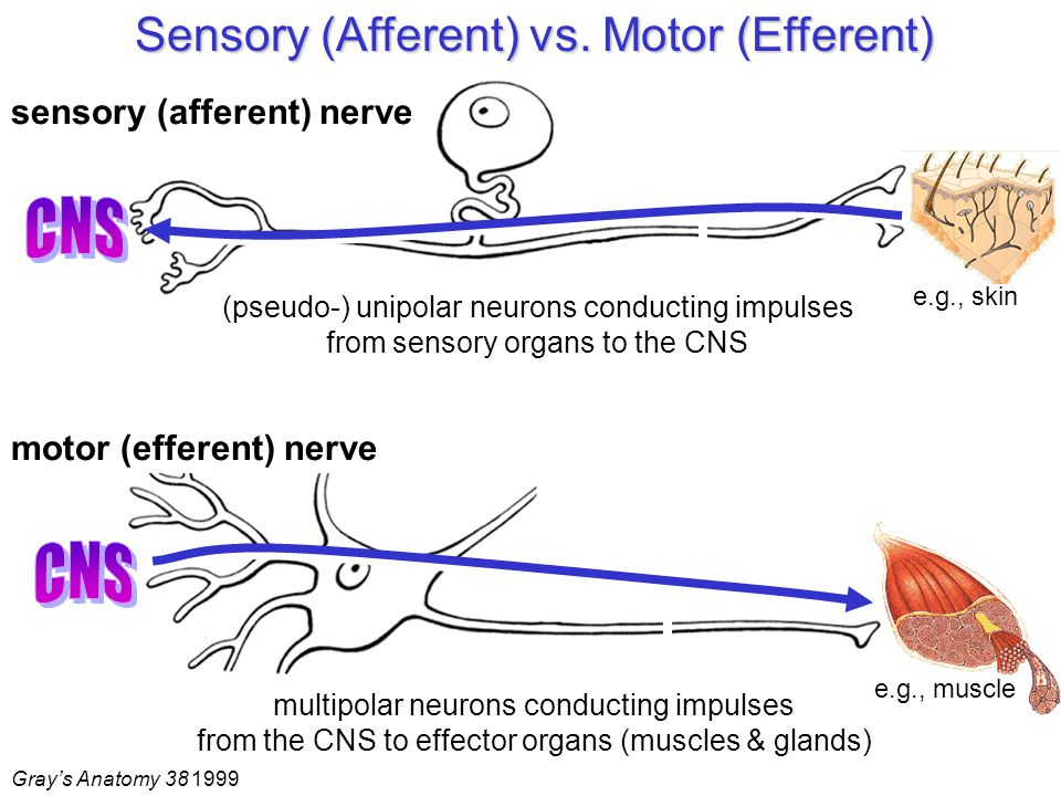 Multipolar Neuron Motor Or Sensory | Newmotorspot.co