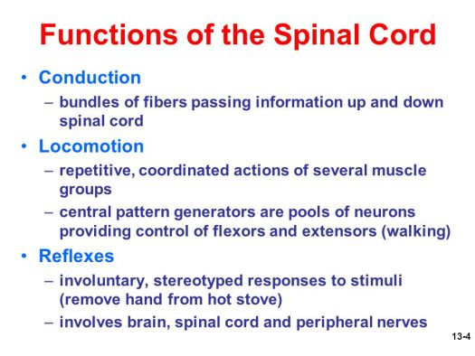 Spinal Cord Anatomy And Function Ppt – Periodic & Diagrams Science