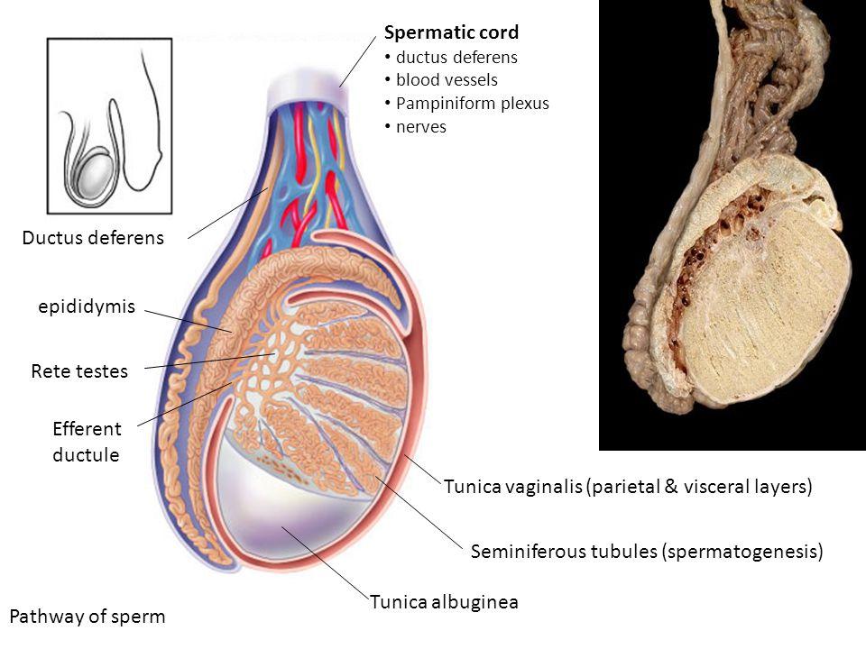 Levator Ani Muscle Anatomy
