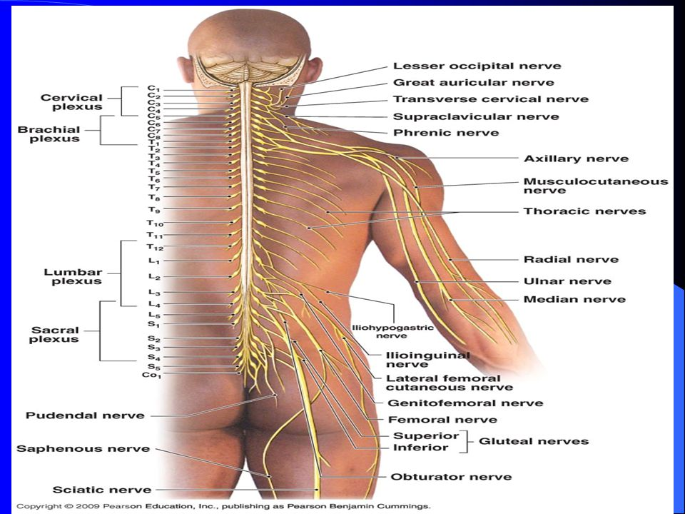 Back And Shoulder Anatomy Posterior