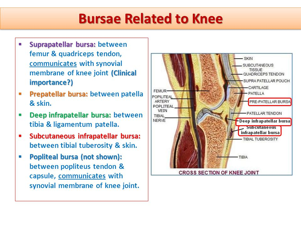 Perfect Knee Anatomy Bursa Pictures - Anatomy And Physiology Biology ...