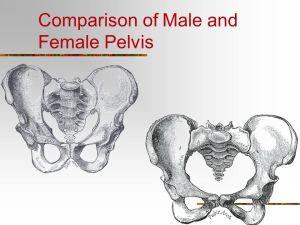 Appendicular Skeleton  ppt video online download
