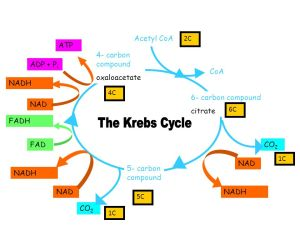 Krebs Cycle state that the Krebs cycle takes place in the