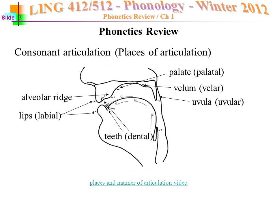 Phonetics The Parts Of Tongue