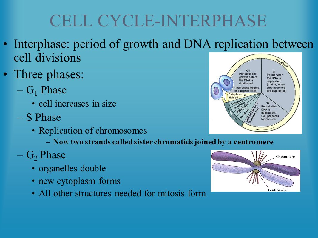 Cell Reproduction The Cell Cycle And Mitosis