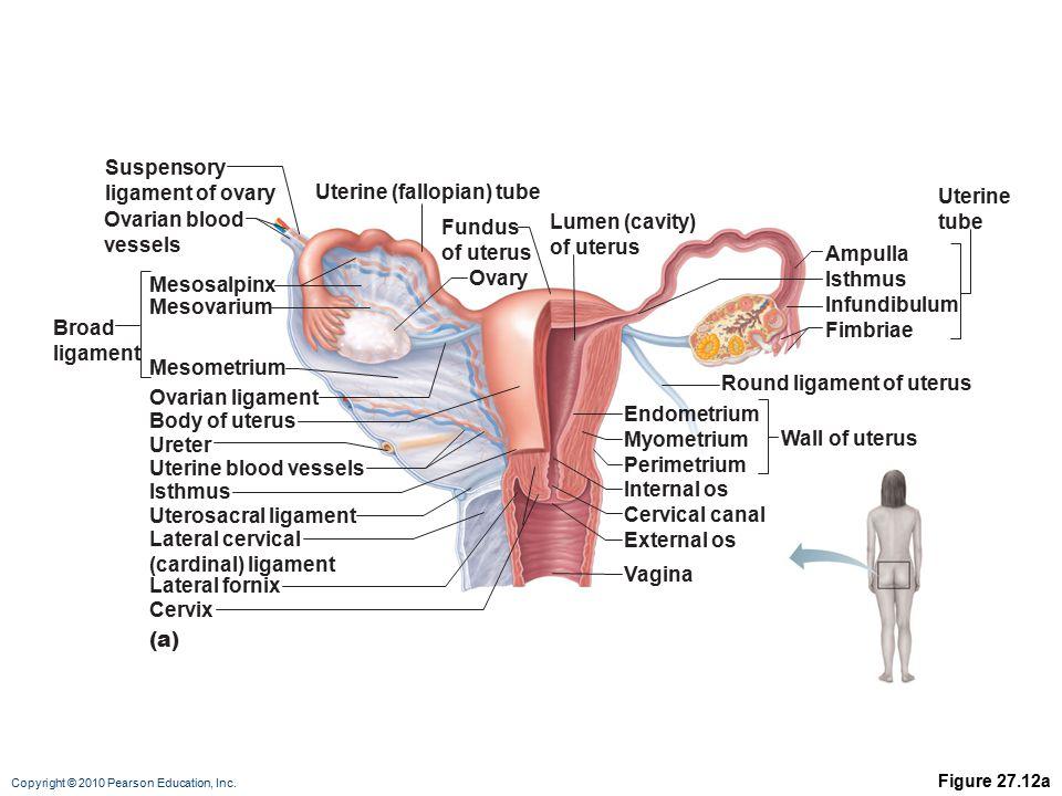 Round Ligament Of Uterus Anatomy Image collections - human body anatomy