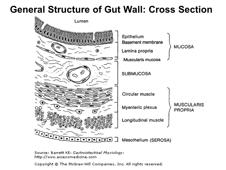 Gi Physiology I Introduction Amp Motility Mechanisms