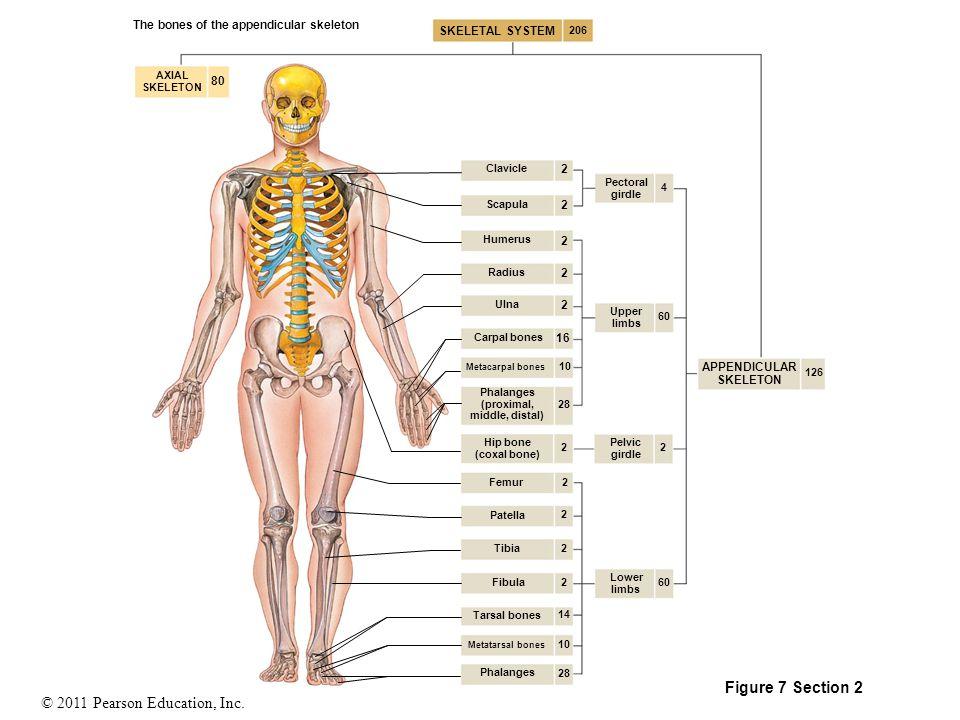 Acromial Process Diagram