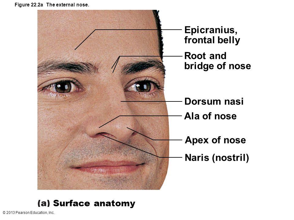 Nose Anatomy Bridge External Nasal