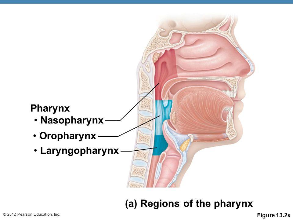 Throat Anatomy Lingual Tonsils