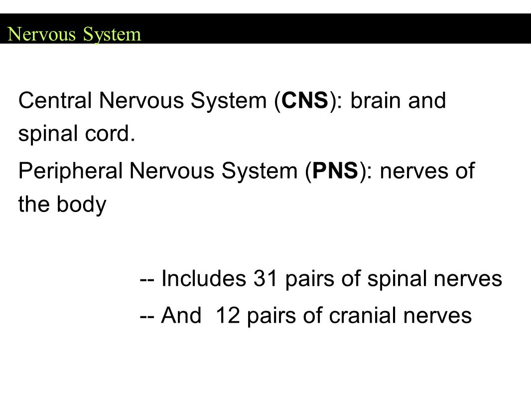 Central Nervous System Cns Brain And Spinal Cord