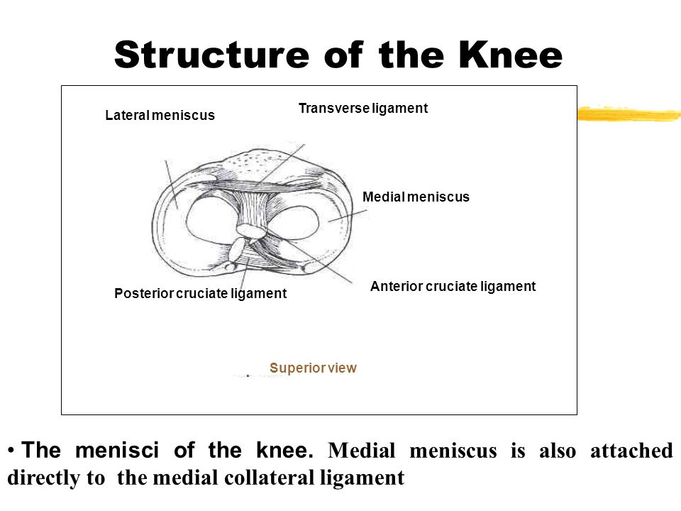 The Structure Of Knee Joint Condyles