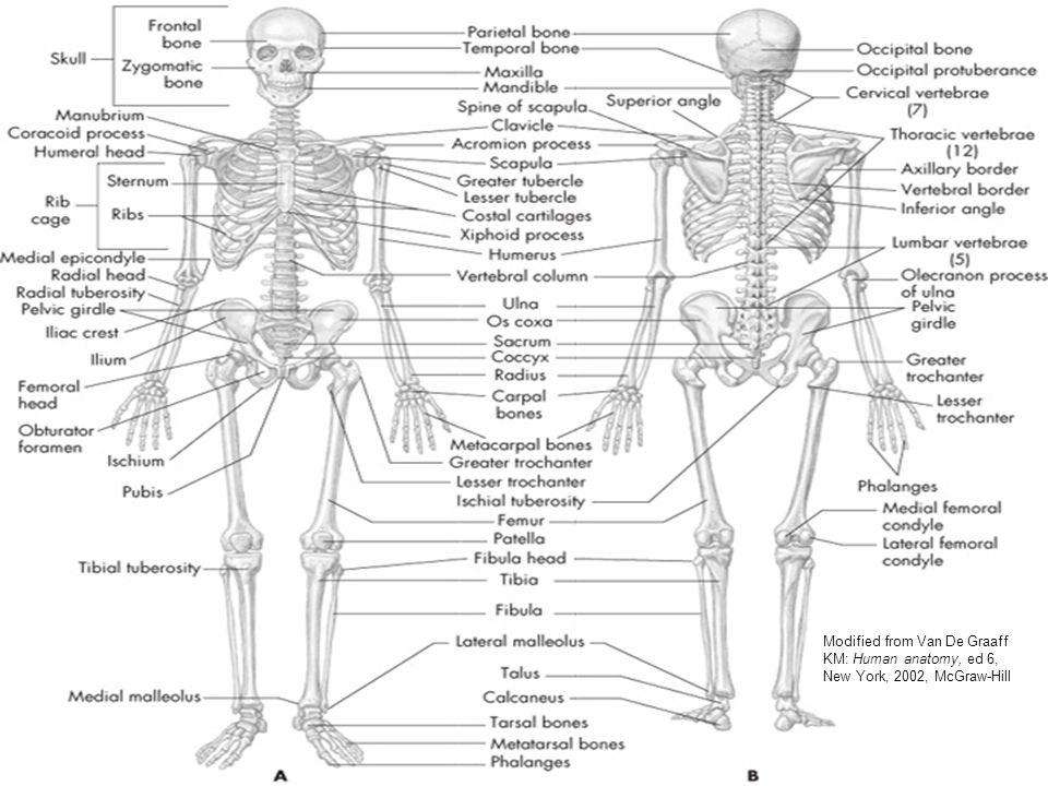 Mcgraw Hill Human Anatomy