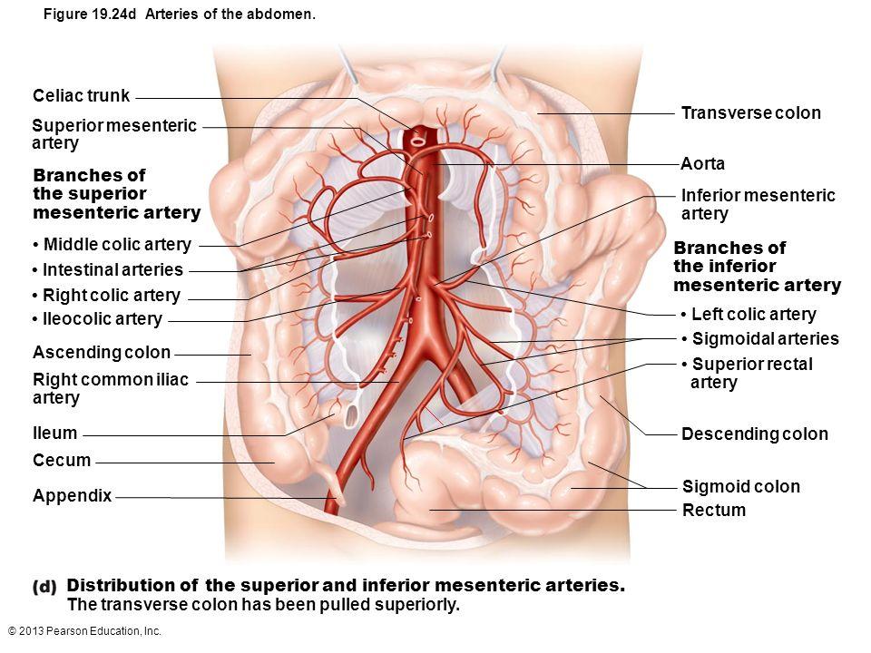 And Superior Artery Mesenteric Celiac Anatomy