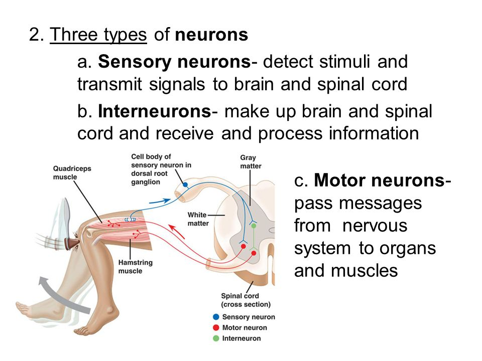 Where does motor neurons transmit signals to newmotorspot motor neurons transmit signals to newmotorspot co ccuart Image collections