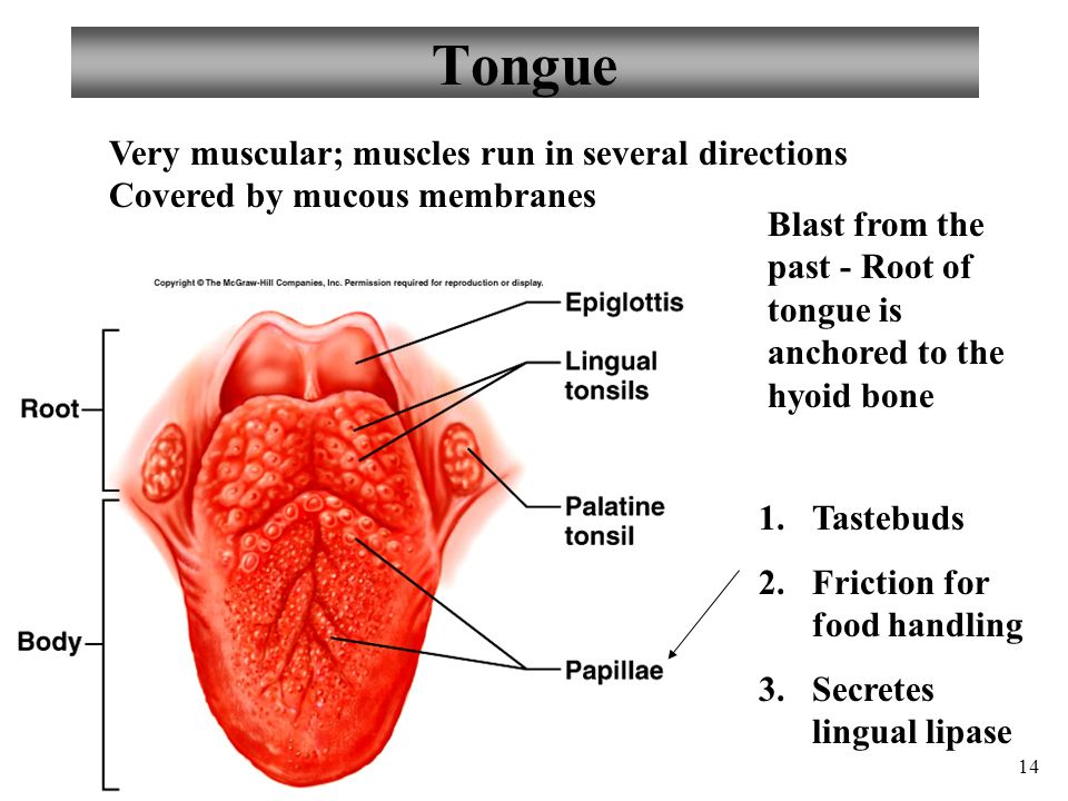 Vallate Papillae Tongue