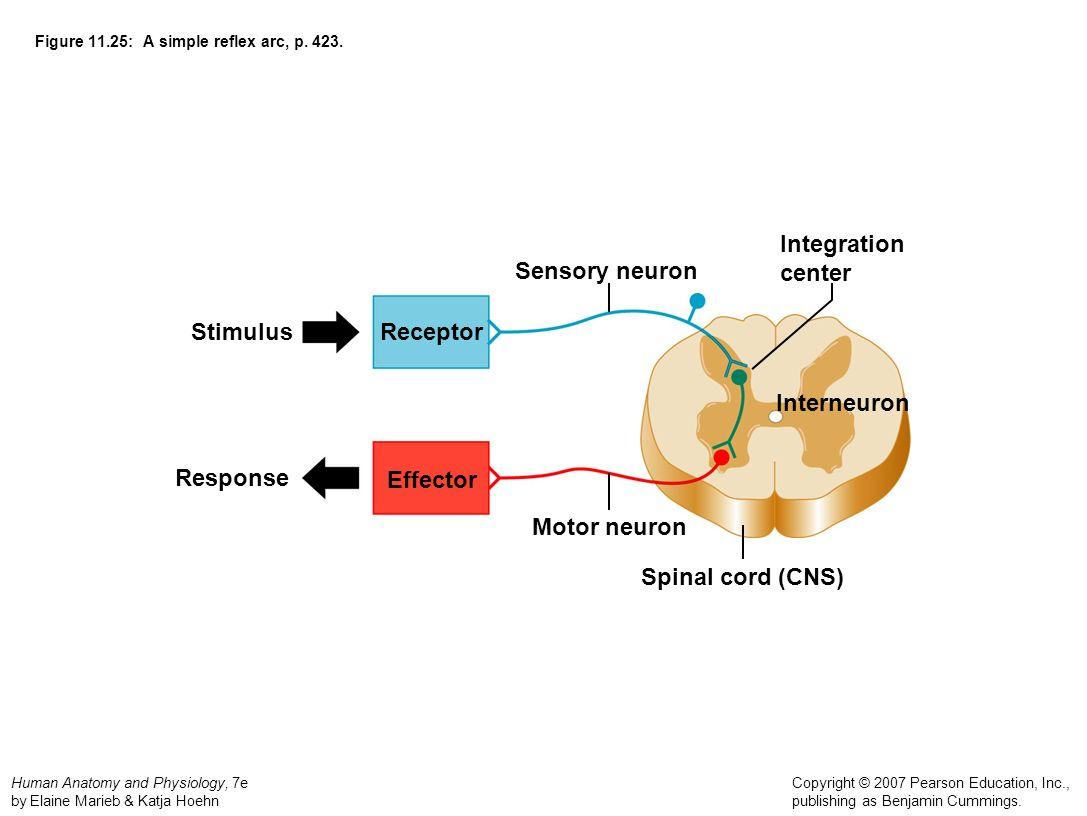 Reflexes Neurons Worksheet