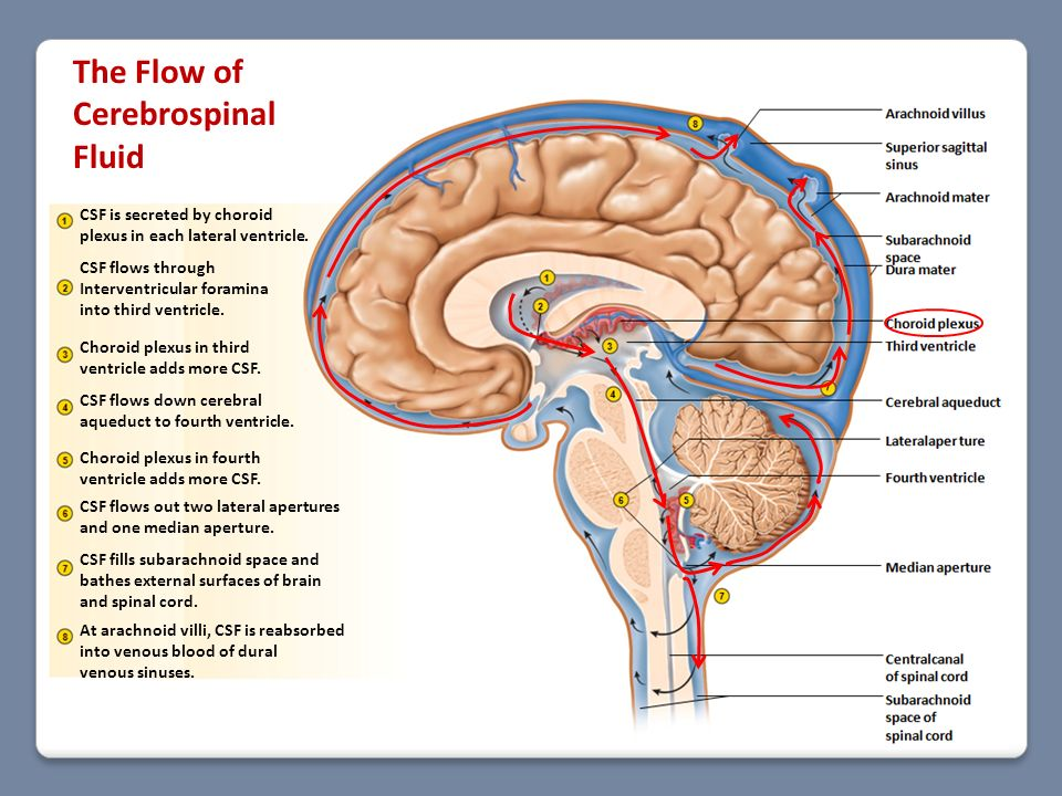 Flow Chart Of Spinal Fluid Flow