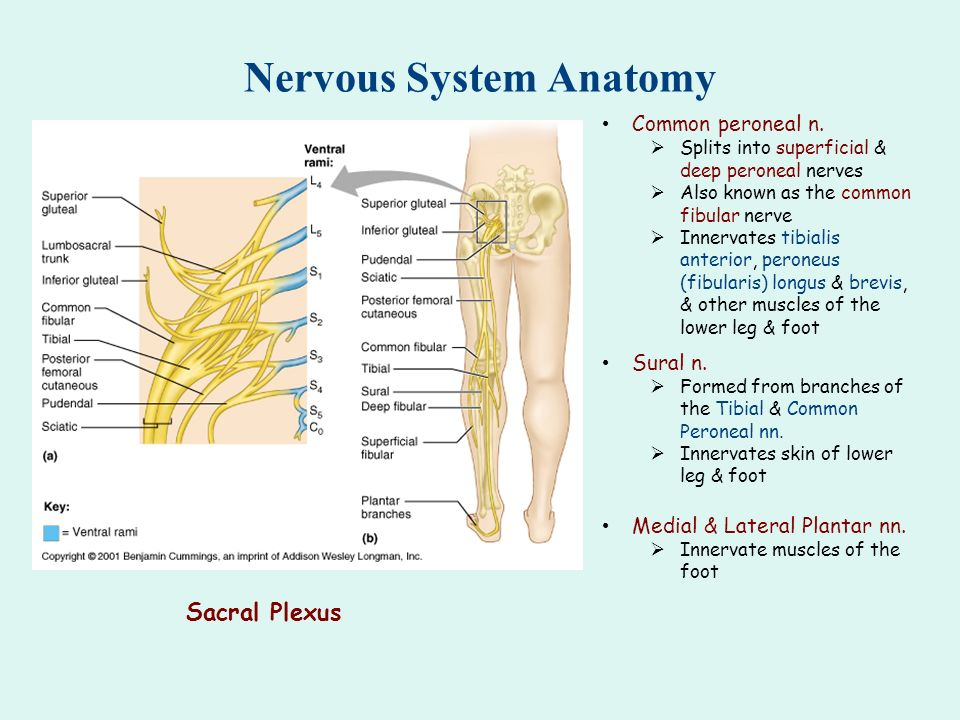 Lower Extremity Sensory Nerves Of The Superficial