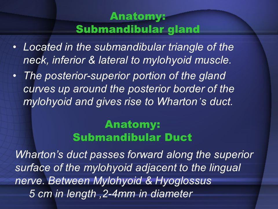 Bartholin Gland Salivary Duct Anatomy