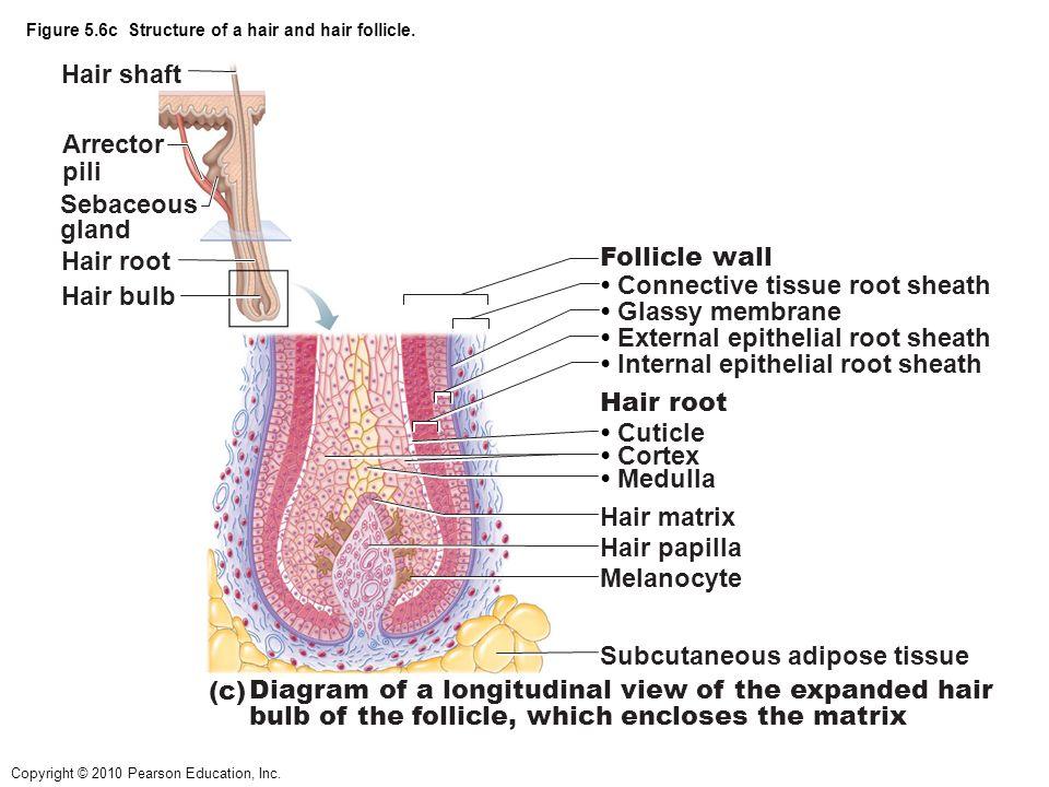 Nice Anatomy Of A Hair Follicle Photo - Anatomy And Physiology ...
