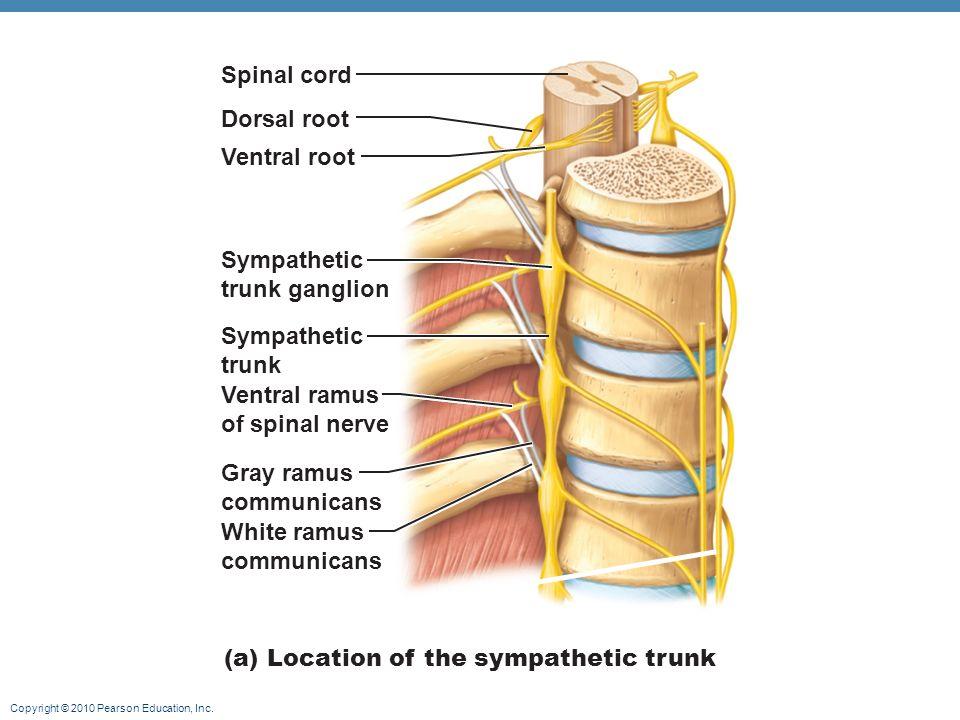 Fibers Rami Dorsal Neuron Ventral And