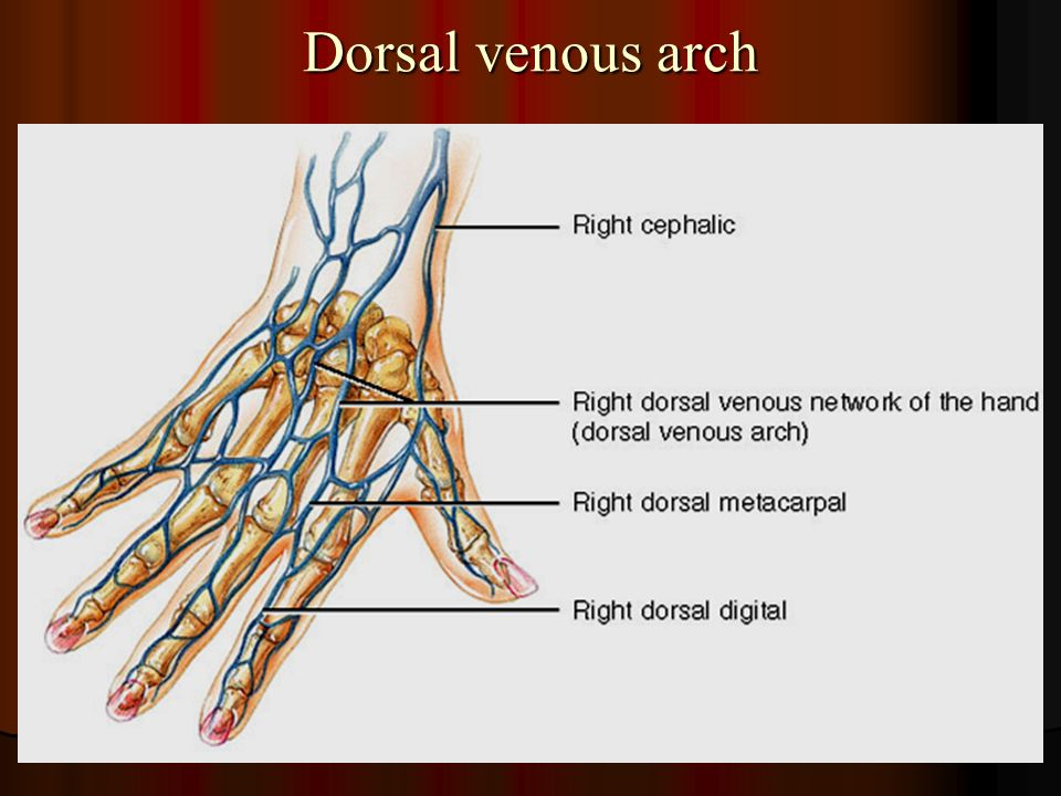 Dorsal Arm Vein Anatomy