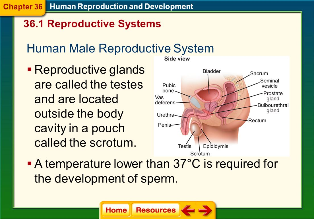 Chapter 36 Human Reproduction
