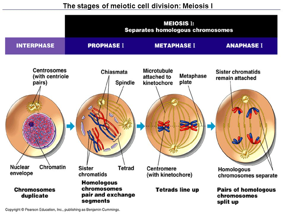 Mitosis Telophase Anaphase Prophase And Metaphase During