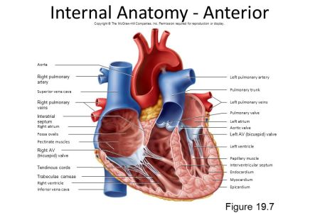 Interior heart anatomy electronic wallpaper electronic wallpaper heart wikipedia valves interior view of human heart the diagram h gallery parts on anatomy interior heart anatomy interior view of human heart the diagram h ccuart Images