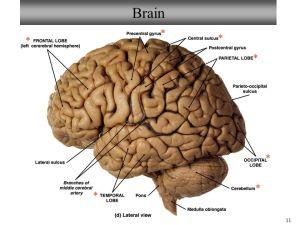 NeuronSpinal Cord Histology Brain Anatomy Sheep Brain