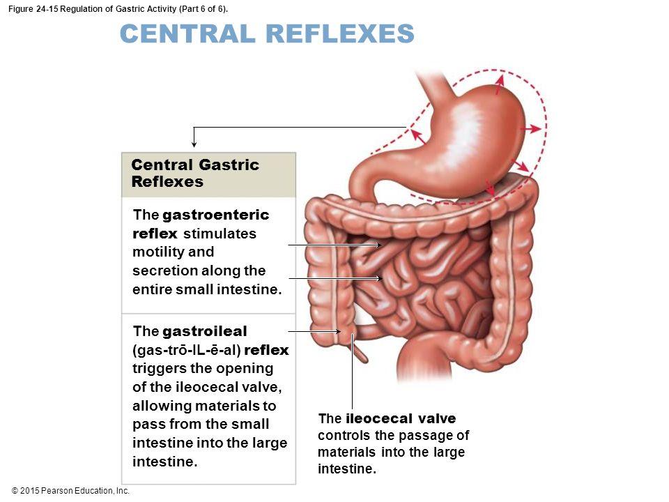 Intestine Small Valve Anatomy Ileocecl