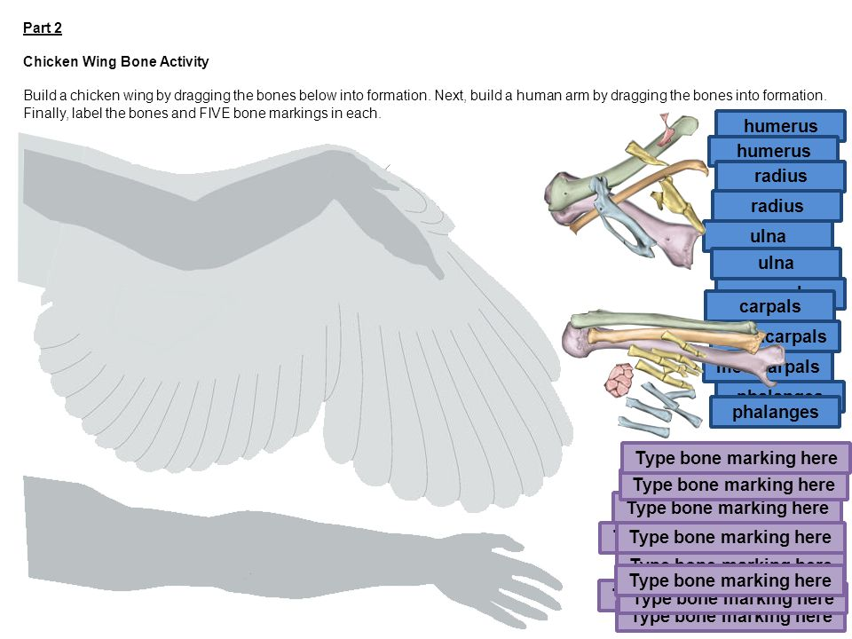Unique Anatomy Of A Chicken Wing Inspiration - Human Anatomy Images ...