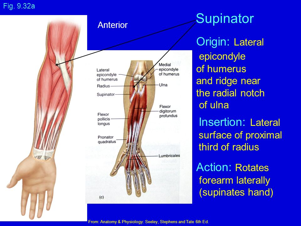 Medial Elbow Anatomy Ppt