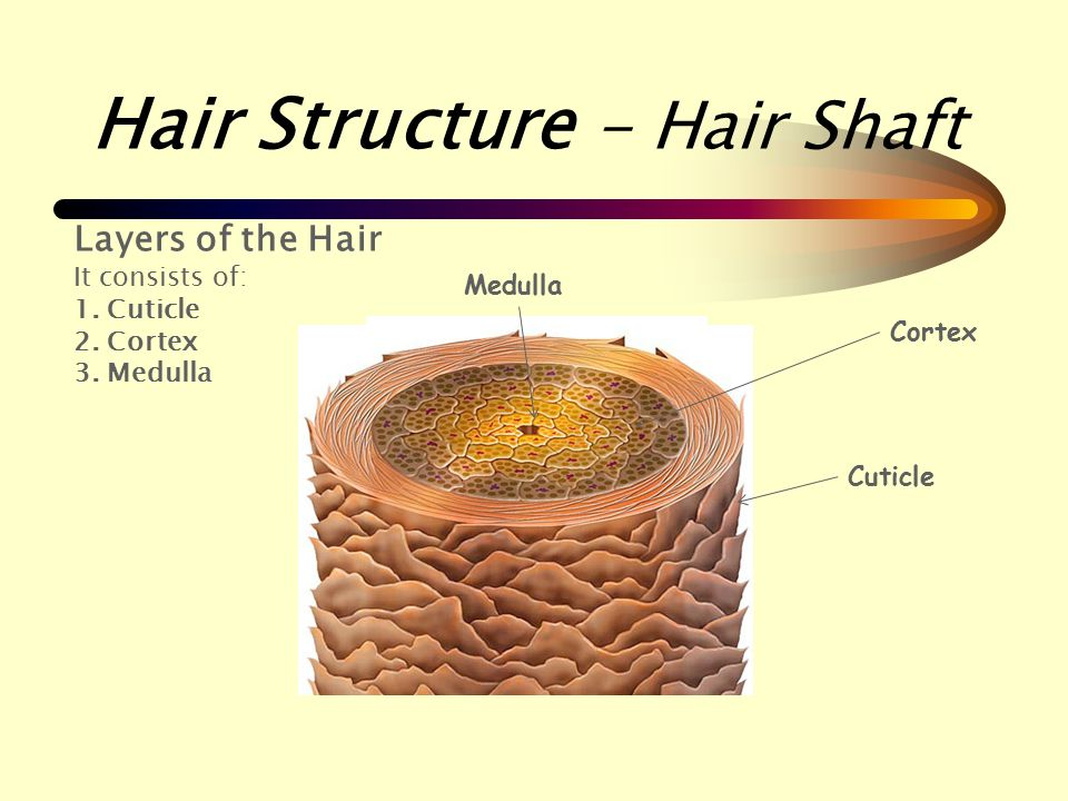 Image result for hair shaft