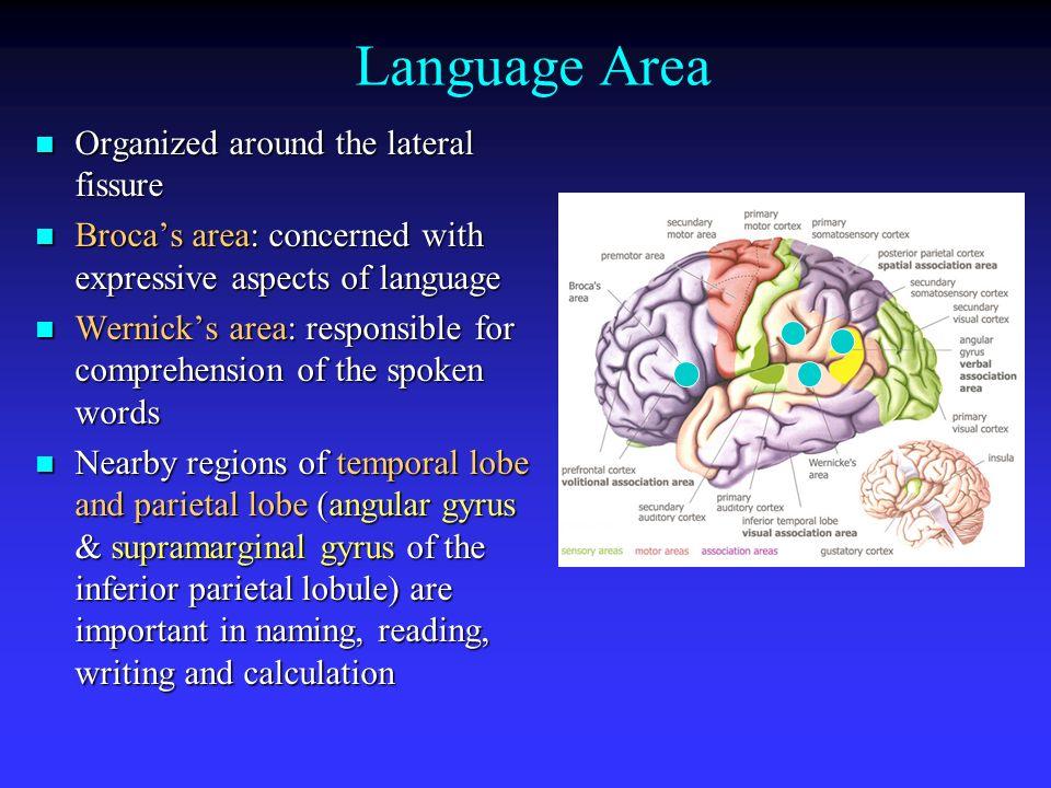 Visual Cortex Angular Gyrus